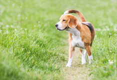 Venturous beagle at the walk Royalty Free Stock Photos