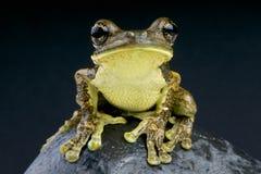 Venulosus de la rana arbórea/de Trachycephalus de la pimienta imagen de archivo