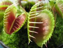 venus ловушки мухы Стоковое Изображение RF