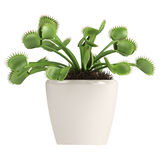 Venus Fliegenfalle, Dionaea muscipula Lizenzfreies Stockbild