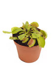 Venus Fly trap Royalty Free Stock Images