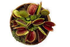 Venus Fly Trap Fotografia de Stock