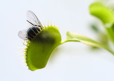 Venus Fly Trap In Action Photo libre de droits