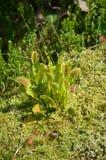 Venus Fly Trap carnívoro (muscipula del Dionaea) Foto de archivo libre de regalías