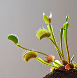 Venus fly trap counter light Stock Photo