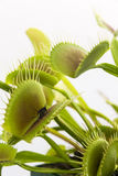 Venus Fly Trap Royalty Free Stock Image