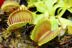 Venus fly trap Stock Image