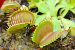 Venus fly trap Royalty Free Stock Photography