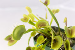 Venus Fly Trap Plant and Fly Royalty Free Stock Images