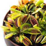 Venus fly trap. In a pot. Dionaea muscipula, carnivorous plant Stock Photography