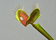 Venus fly trap with prey. Leaf of venus fly trap with digested mosquito Royalty Free Stock Photos
