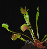 Venus fly trap Stock Photos