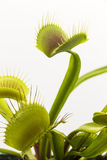 Venus Fly Traps Stock Photo