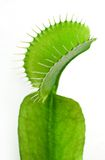 Venus flytrap Royalty Free Stock Photography