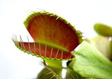 Venus flytrap Stock Photos