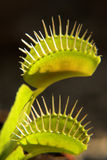 Venus flytrap royalty free stock photos