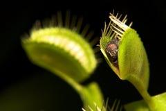 venus flytrap стоковое изображение rf