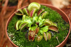 Venus flytrap stock photography