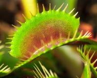 Venus flytrap Royaltyfria Bilder