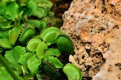 Venus Flytrap or Carnivorous plant Stock Image