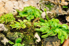 Venus Flytrap or Carnivorous plant Stock Images