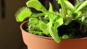 Venus Flytrap che mangia un cricket video d archivio