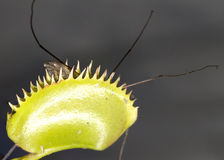 Venus Flytrap com inseto prendido Fotografia de Stock Royalty Free