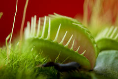 Venus flytrap dionaea Stock Photography