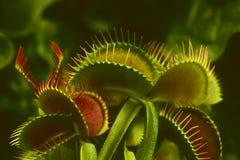 Venus Flytrap (Dionaea-muscipula) Stock Foto