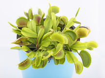 Venus flytrap - dionaea muscipula Stock Image