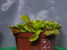 Venus flytrap or Dionaea muscipula carnivorous plant in flowerpot close-up, selective focus, shallow DOF.  Stock Image