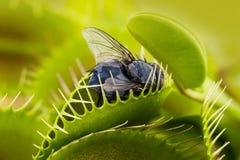 Venus flytrap - dionaea muscipula Royalty Free Stock Images