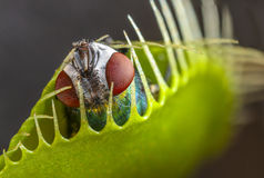 Venus flytrap - dionaea muscipula. With trapped fly Stock Photos