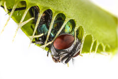 Venus flytrap - dionaea muscipula. With trapped fly Stock Photo