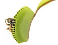 Venus flytrap - dionaea muscipula Royalty Free Stock Image