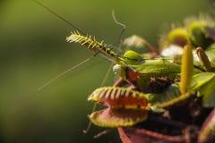 Venus Flytrap ha cercato il ragno della cantina al primo mattino Immagini Stock