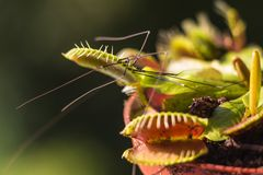 Venus Flytrap hunted cellar spider at early morning Stock Photos