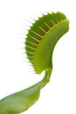Venus Flytrap Leaf Trap on White Background Royalty Free Stock Photos