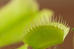 Venus flytrap macro Stock Images