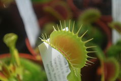 Venus Flytrap Royalty Free Stock Images