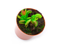 Venus flytrap plant Royalty Free Stock Photos