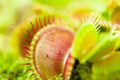 Venus flytrap Stock Image