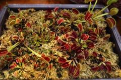 Venus flytrap Royalty Free Stock Photos