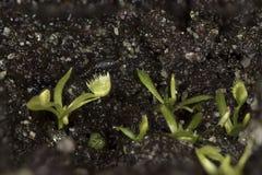 Venus Flytrap Seedlings Imagem de Stock Royalty Free