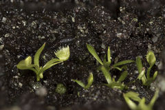 Venus Flytrap Seedlings Royalty Free Stock Image