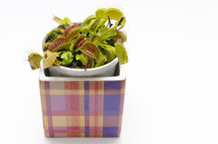 Venus flytrap in a square pot Stock Photos