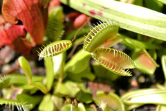 Venus Flytraps  Stock Photos