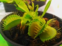 Venus Flytraps. The Venus flytrap Dionaea muscipula, is a carnivorous plant native to subtropical Stock Images