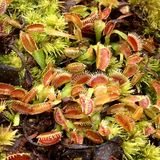 venus flytraps zaailing Royalty-vrije Stock Afbeeldingen