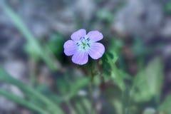 Venus la flor salvaje púrpura etherial imagen de archivo libre de regalías